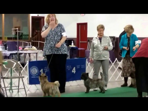 Widget Wins Best of Breed Cairn Terrier Breed May 13, 2017