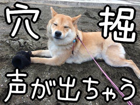 穴掘りしてると興奮して声が出ちゃう柴犬どんぐり Would out voice with excitement to have to dig holes Shiba Inu Donguri