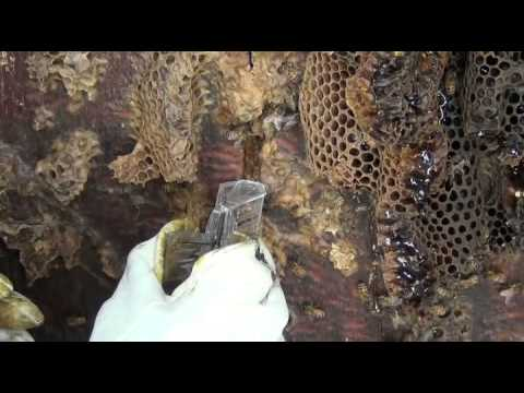 Honey Bee Cut Out (Collecting A Wild Colony)