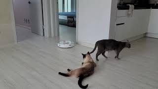 로붓청소기를 대하는 자세가 다른 두 고양이