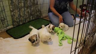Coton Puppies For Sale - Isabella 8/4/20