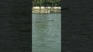 Monitor Lizard Swimming in Lumpini Park