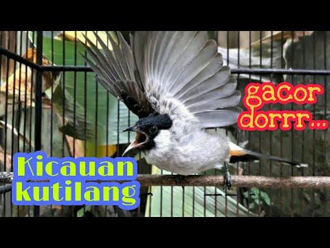 Suara kicauan burung kutilang