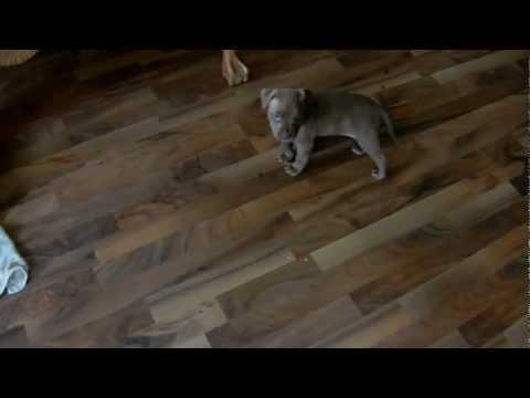 MCK's American Bandog Puppies