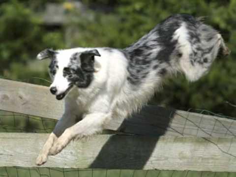 Australian-Shepherd-Lovers.com - Reader's Aussies 1