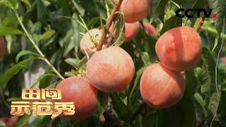 《田间示范秀》 20200611 温室种桃有门道|CCTV农业