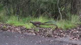 New England Tablelands  - Lyrebirds und Blutegel - Australien #3