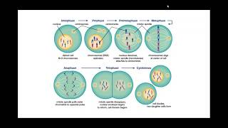 онкология и ламинин