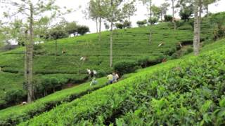Cindi Bigelow Visits Tea Fields of Sri Lanka
