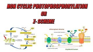 Photosynthesis -  Non-Cyclic Photophosphorylation || Light Reaction || Urdu/Hindi || By Easy Science