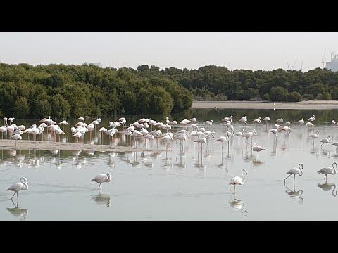 1000 Flamingos at a single place Dubai || Dubai Wildlife Sanctuary 2020 || Flamingo in Dubai