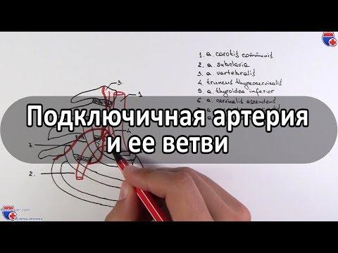 Подключичная артерия и ее ветви - Meduniver.com