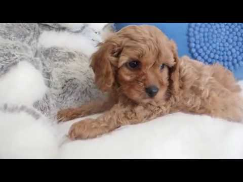 Penny's Toy Cavoodle Boy 7223 - Pocket Puppies