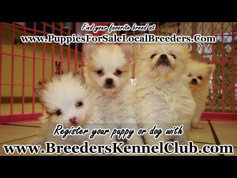 TEACUP POMERANIAN PUPPIES FOR SALE IN GEORGIA PUPPY BREEDERS