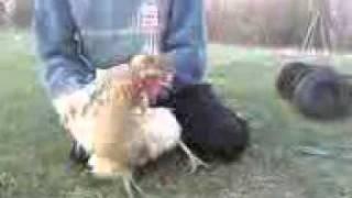 dance chicken
