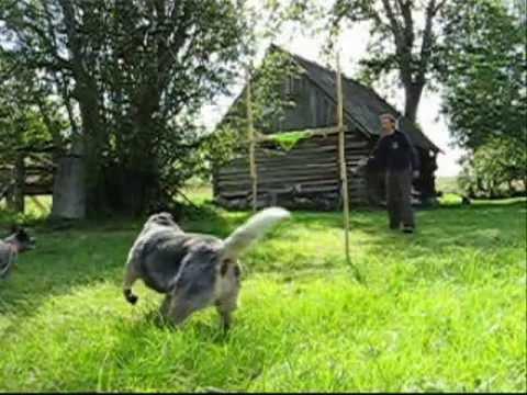 Dog parkour / Australian cattledog / Austraalia karjakoer Scanbull Dusha 140cm
