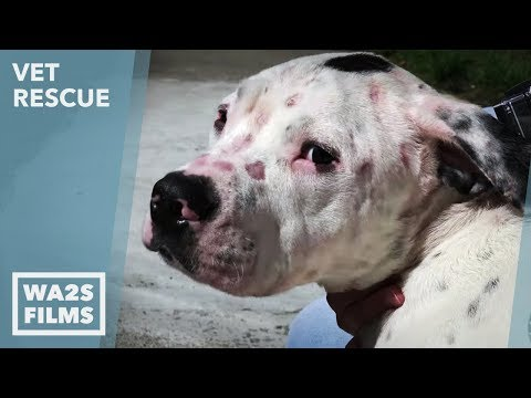 Animal Aid Unlimited for Chained Emaciated Dog Rescued on VET Rescue #3 Saving Nemo Part 2