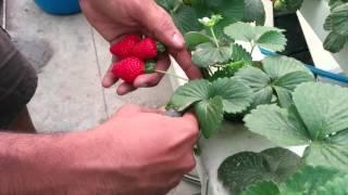 Growing Strawberries - Harvesting Strawberries grown in Nutrient Film Technique