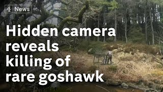 Undercover in the UK's grouse shooting industry