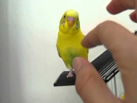 鸚鵡說話不稀奇 聽聽琴朵音樂的小鸚哥 三輪車TALK SHOW - YouTube