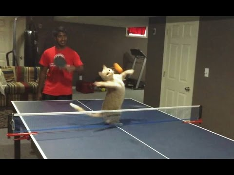 """Cats Playing Ping Pong Compilation"" 