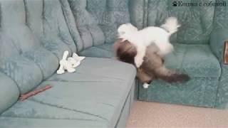 Кошка с собакой, приколы, карликовый пудель Чарли