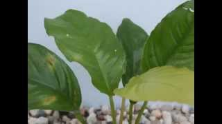Anubias List Of Aquarium Plants