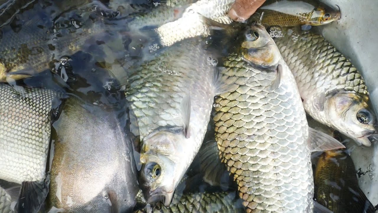 Most Satisfying Net Fishing in River ! Best Traditional Fishing With Beautiful Nature
