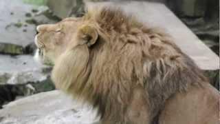 Brullende leeuwen in de Olmense Zoo