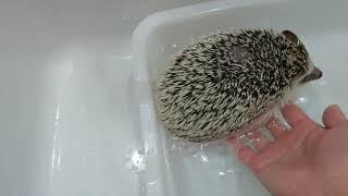 ハリネズミのまふゆ、嫌いなお風呂を頑張る thumbnail