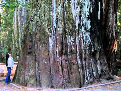 GIANT TREE 363ft Tall, 53.2ft Circumference - Giant Redwood