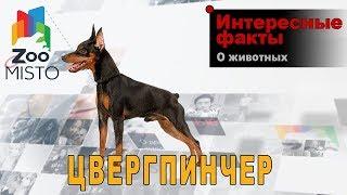 Цвергпинчер - Интересные факты о породе  | Собака породы цвергпинчер
