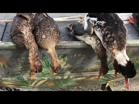 How to tell the difference between mottled ducks and mallards! (Florida hunting) #35