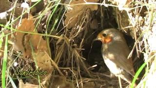 Il nido del Pettirosso 01 giugno 2010 (Erithacus rubecula)