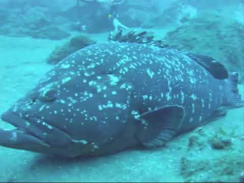 Mérous De Madère Mediterranee Fish