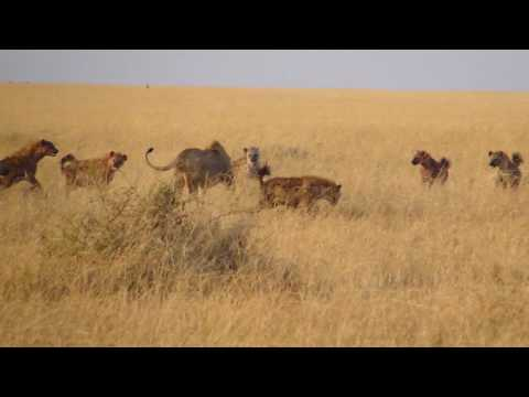 Lion vs Hyenas in the Masai Mara Part 1