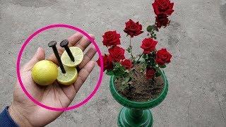 एक कील और एक नींबू को इस हरे पानी में डालने से बदल सकती है आपके गुलाब के पौधे की ज़िंदगी। देखिए कैसे।