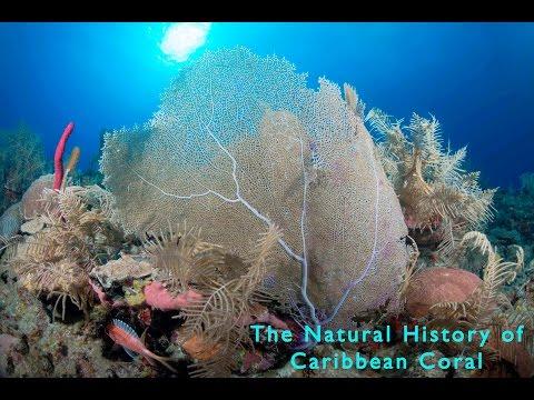 The Natural History of Caribbean Coral