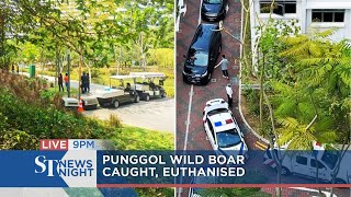 Punggol wild boar caught, euthanised | ST NEWS NIGHT