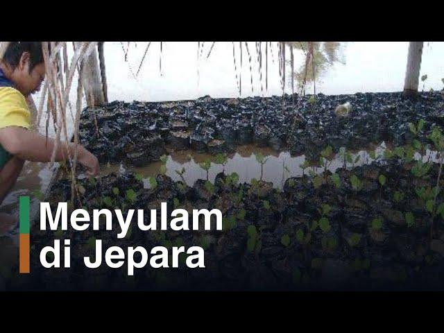 Hasil Penyulaman Bibit Mangrove di MECoK, Jepara