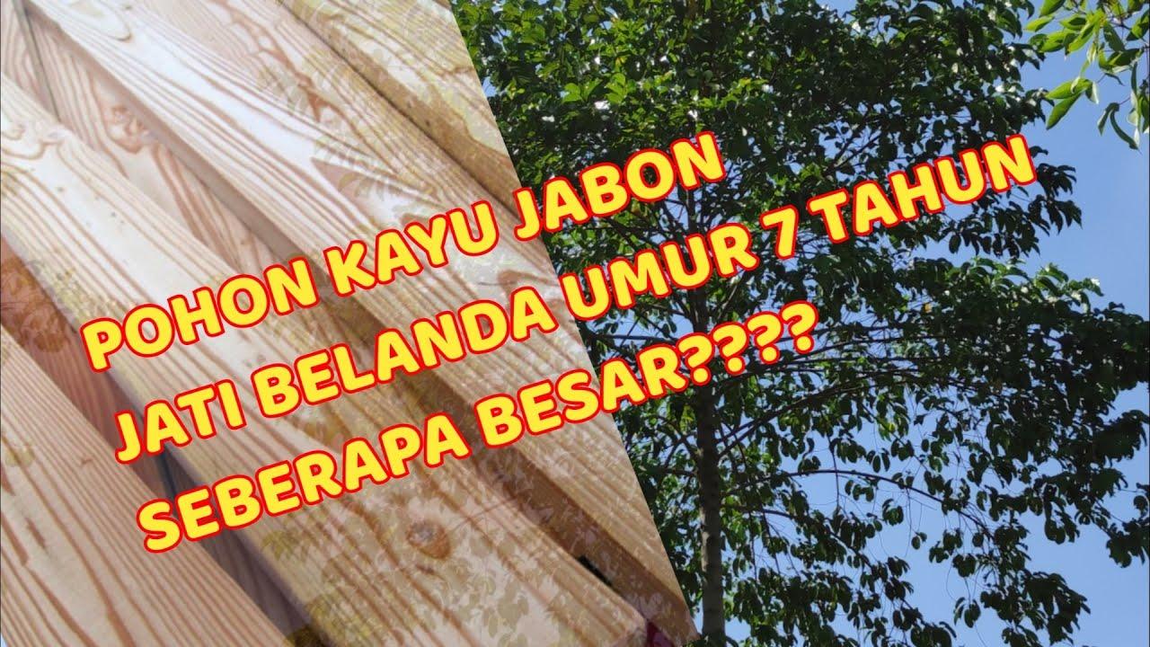 Pohon Kayu Jabon Jati Belanda Umur 7 Tahun Jatibelanda Jabon Youtube Gambar pohon jati belanda