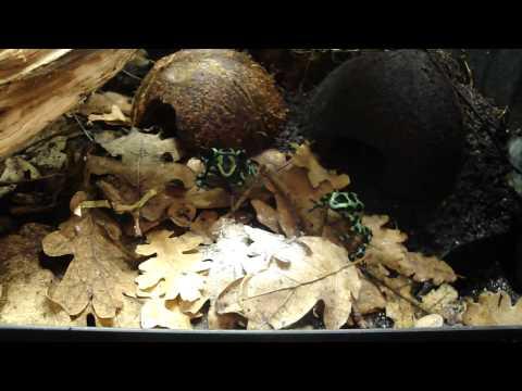 D. auratus feeding