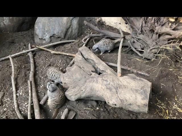 Meerkat Dreaming