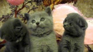 В продаже шотландские коты (Скотиш фолды и страйт)