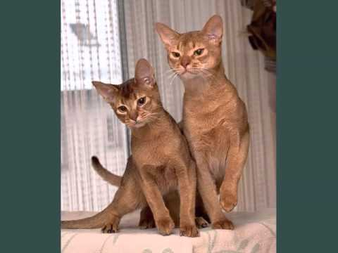 Abyssinian Cat Breed | Pictures Of Cat Breed