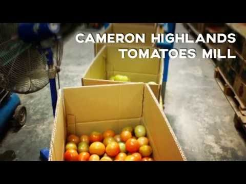 Cameron Highlands Tomatoes Harvesting Farm & Mill