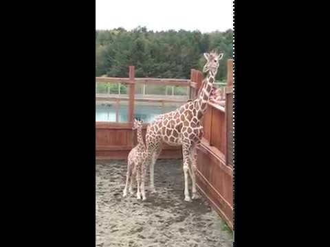 Thumbnail: Baby Tajiri and Mommy April the Giraffe