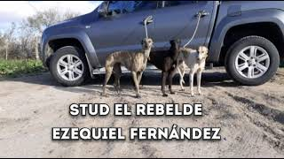 Stud El Rebelde  Galgo vs avestruz
