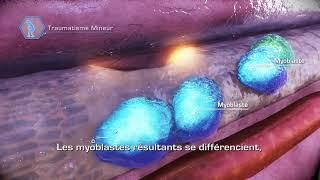 Muscle et cellules souches: Réparation après un traumatisme mineur