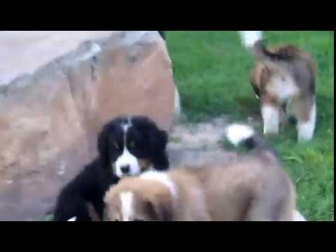 Ozark Mtn dog Puppies Holly x McKenna G Litter 6 wks Great Bernese